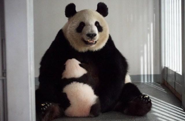 Bliźniacze pandy wielkie skończyły już trzy miesiące...