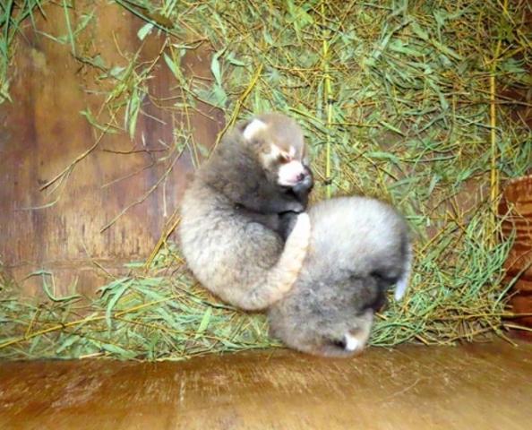 Narodziny bliźniąt pandy czerwonej w Chusayama ZOO