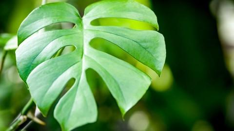 Dlaczego liście monstery mają dziury?